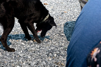 This black lab's favorite thing was to retrieve any rock thrown his way.