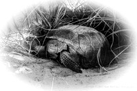 Tortoise in burrow at Smyrna Dunes Park, Florida