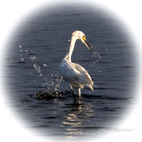 Great Egret on the Hunt!