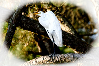 Standing on one leg, snowy egret