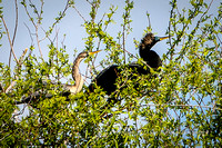 Anhingas perched in tree
