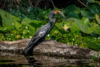 An Anhinga enjoys lunch on the St Johns River, Blue Spring State Park, Florida