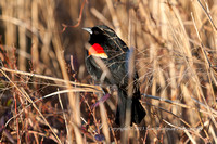 Red-winged Blackbird - These guys were everywhere!