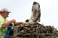 Captain Steve reaches for the young Osprey who yells at him to stop