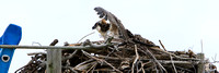 Osprey fledgling is not happy over Captain Steve's approach.