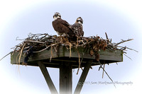 Osprey fledglings in their nests