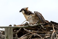 Osprey fledgling sees Captain Steve approach with his ladder!