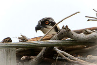 This osprey fledgling sees Captain Steve approaching - uh oh!!