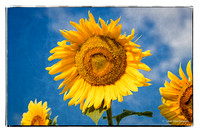 Sunflower Outing - July 27, 2016