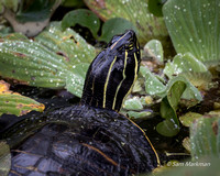 Florida Red-bellied turtle (Florida Cooter)