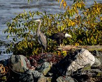 Great Blue Heron and Eagle