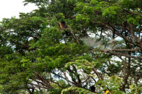 Howler Monkeys Populate the Trees on our Route to the Masaya Volcano