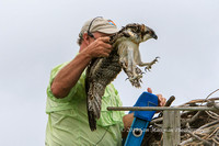 This Osprey is coming down to be banded!