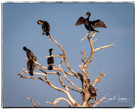 Cormorants hanging out.