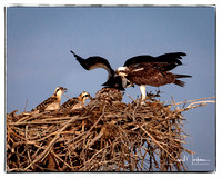 Osprey parents w/three young - the health of one is uncertain.