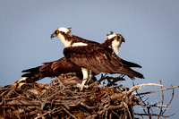 Osprey parents guarding their nest
