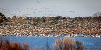 Snow Geese and a few Tundra Swans
