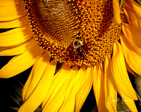 Sunflower and busy bee!