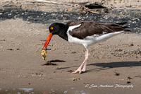 Oyster Catcher with an oyster