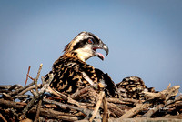 Hungry young Osprey