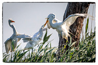 The parent Great Egret is regurgitating food for its young.